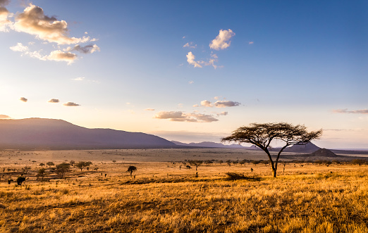 Woman tourist on safari in Africa, traveling by car with an open roof of Kenya and Tanzania, watching giraffes and antelopes in the savannah.\nNational park Serengeti.