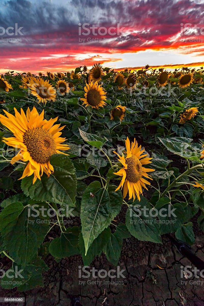 Sunset at sunflowers farm, California stock photo