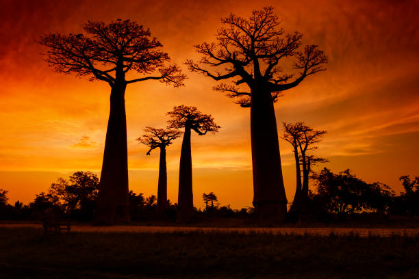 Sunset at the famous Baobab Avenue (Alley) in Madagascar stock photo