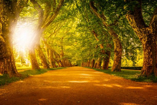 Sonnenuntergang hinter schönen Gasse mit riesigen Bäumen – Foto