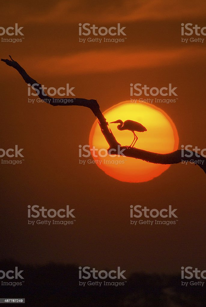 Sunset behind great white egret, Pantanal region, Brazil stock photo