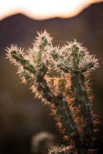 istock Sunset Cactus 826830596