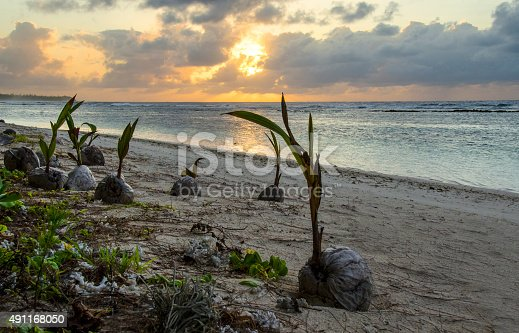 Coconuts sprouting on a beach in the Northern Mariana Islands, Micronesia.