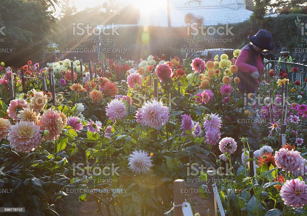 Sunset dahlia garden. Back light. stock photo