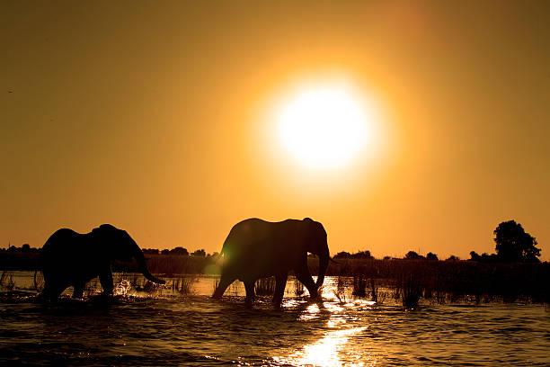 sunset elephants stock photo