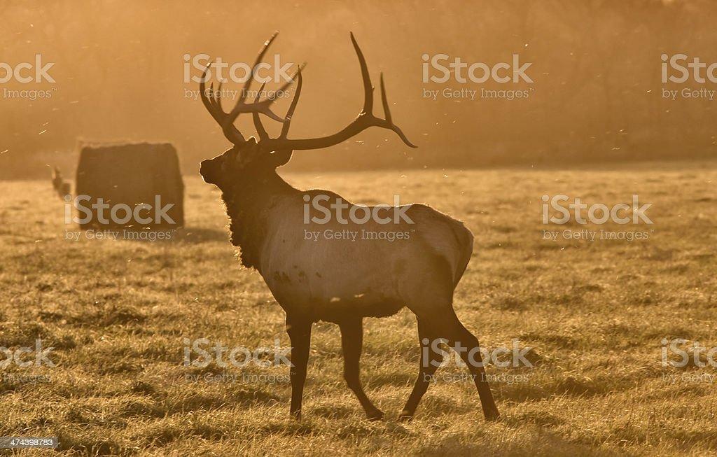 Sunset Elk Bull royalty-free stock photo