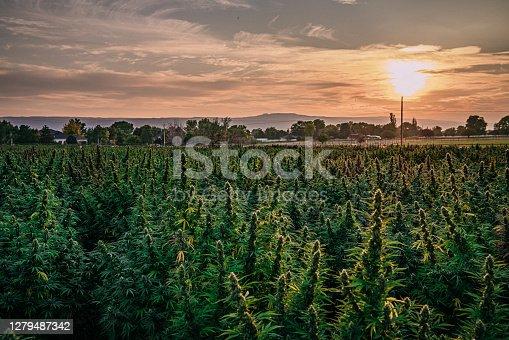 istock Sunset Field of Mature Herbal Cannabis Plants Ready for Harvest at a CBD Oil Hemp Marijuana Farm in Colorado 1279487342
