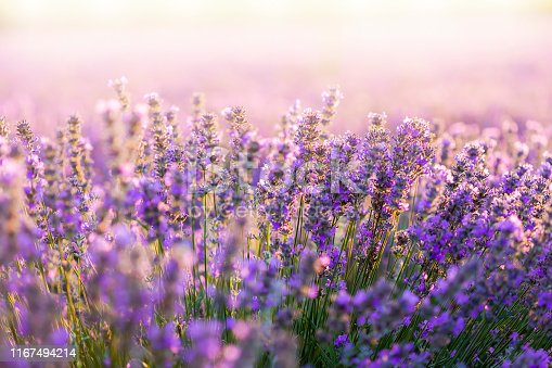 Sunset field with lavender
