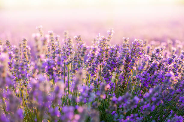 Sunset field Sunset field with lavender flower part stock pictures, royalty-free photos & images