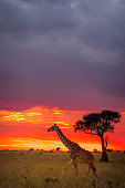 This image of Giraffe is taken at Masai Mara in Kenya.