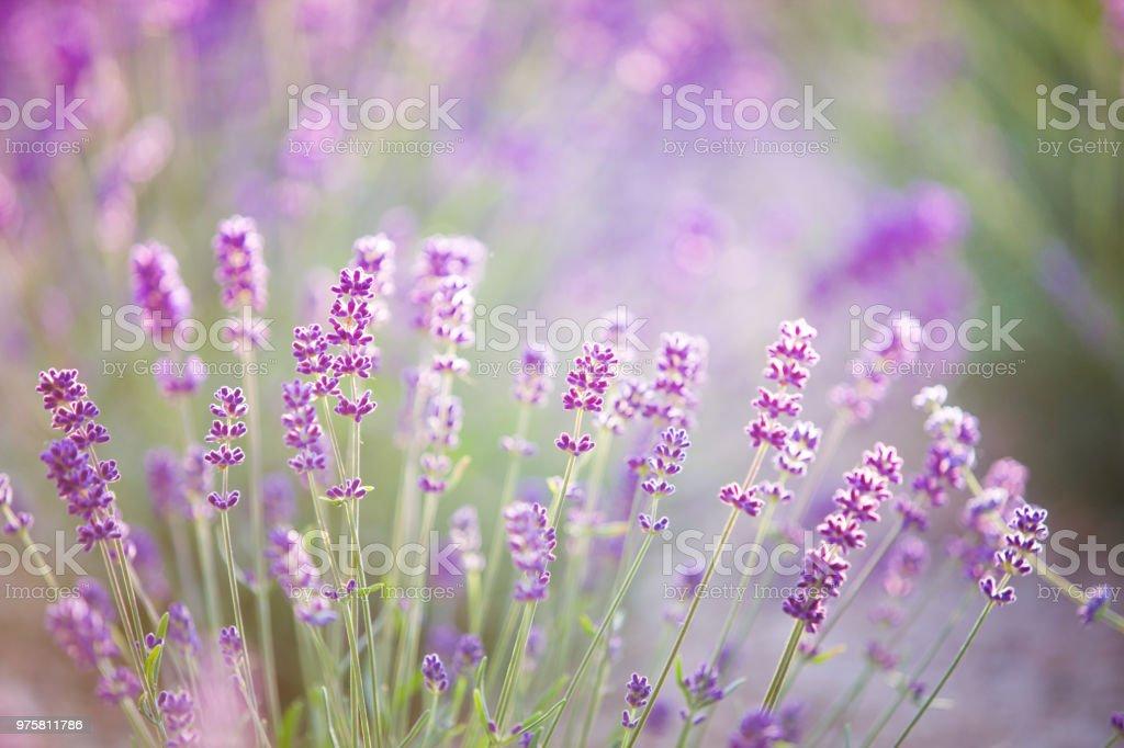 Sonnenuntergang Schimmer über lila Blüten des Lavendels - Lizenzfrei Baumblüte Stock-Foto