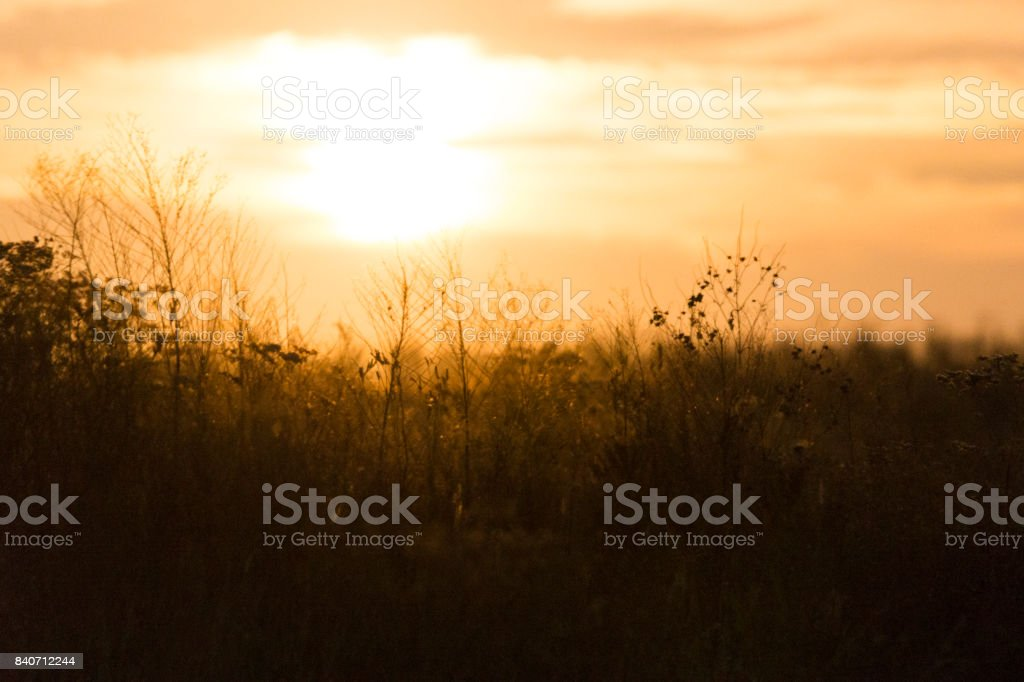 Sunset golden light behind feathery natural plants in a wilderness area in Indiana, USA stock photo
