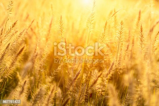 Tall grasses in backlit pasture with sun flares.