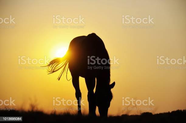 Sunset horse picture id1013695084?b=1&k=6&m=1013695084&s=612x612&h=gbqldnniq7udjyaexfqpge0xm5 xzmvya35b5jbixzw=