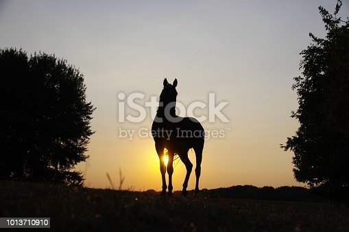Grazing horse in sunset silhouette