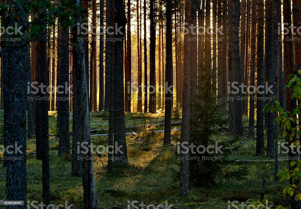 Sunset in a pine forest. stock photo