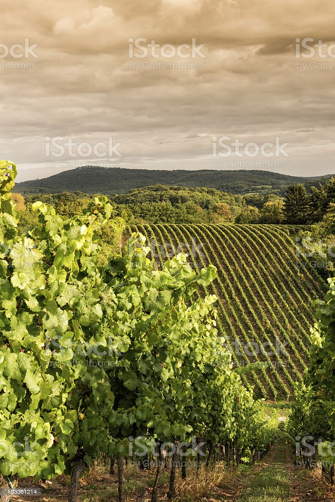 Sunset in a vineyard, Hessen Germany stock photo