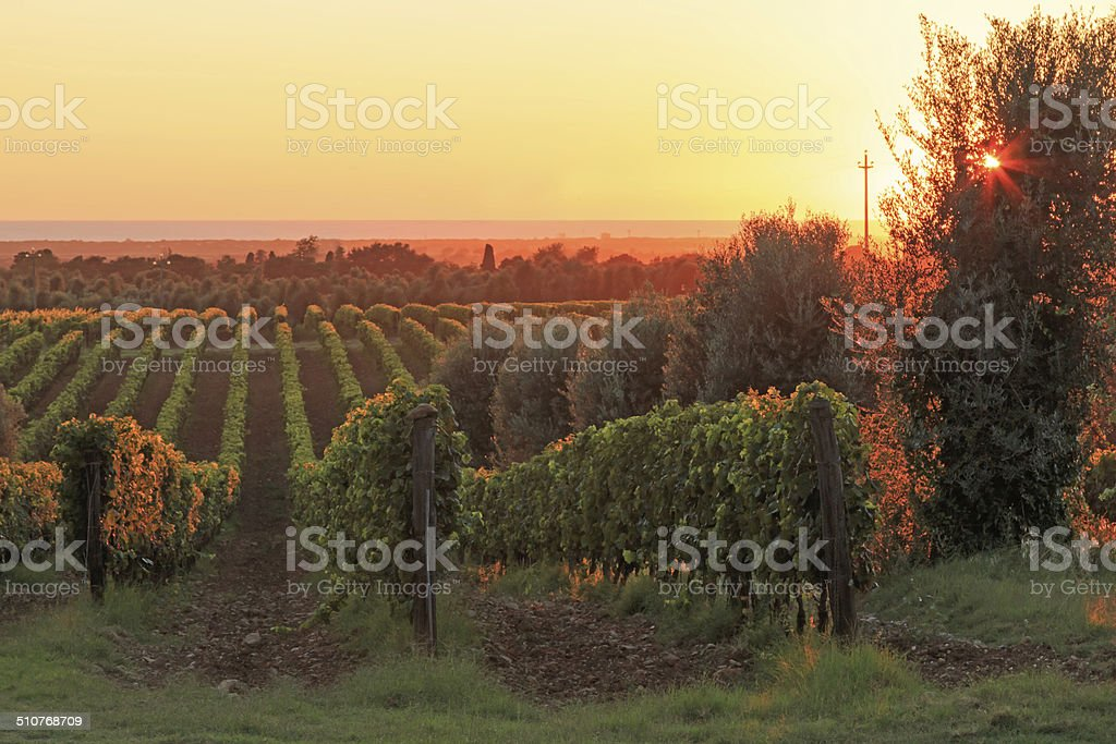 Sunset in a vineyard, Tuscany - Italy stock photo