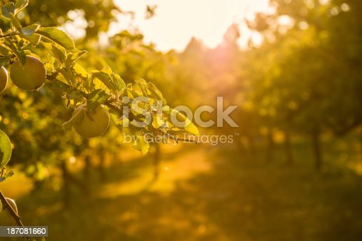 505840263istockphoto Sunset in Apple Orchard 187081660