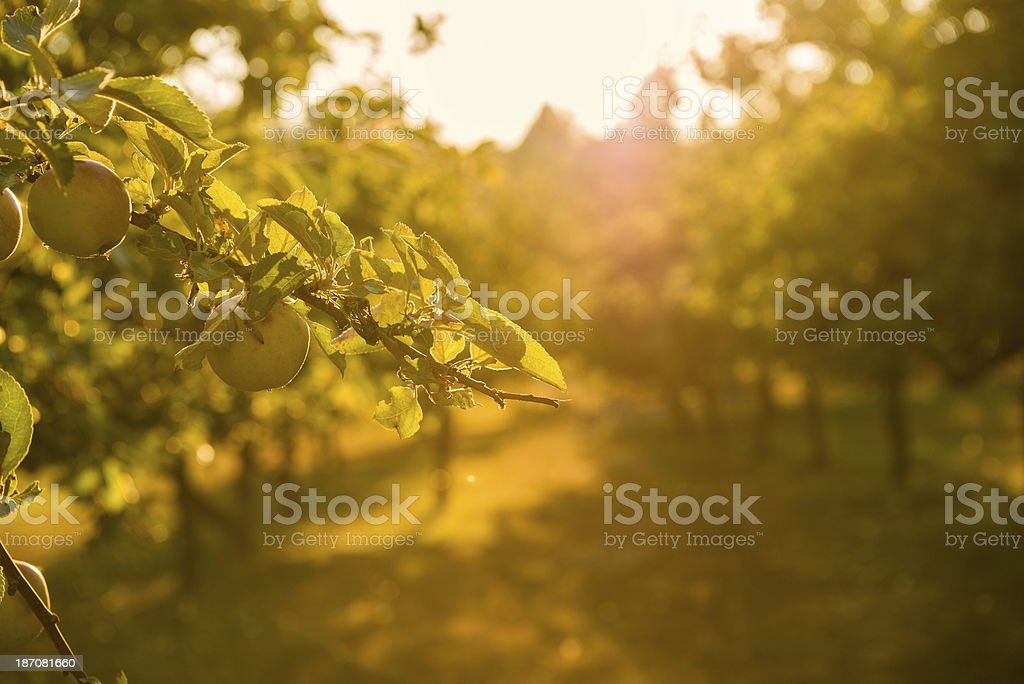 Sunset in Apple Orchard stock photo