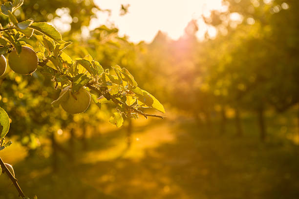 Sunset in Apple Orchard Sunset in a heritage apple orchard.  British Columbia, Canada apple orchard stock pictures, royalty-free photos & images