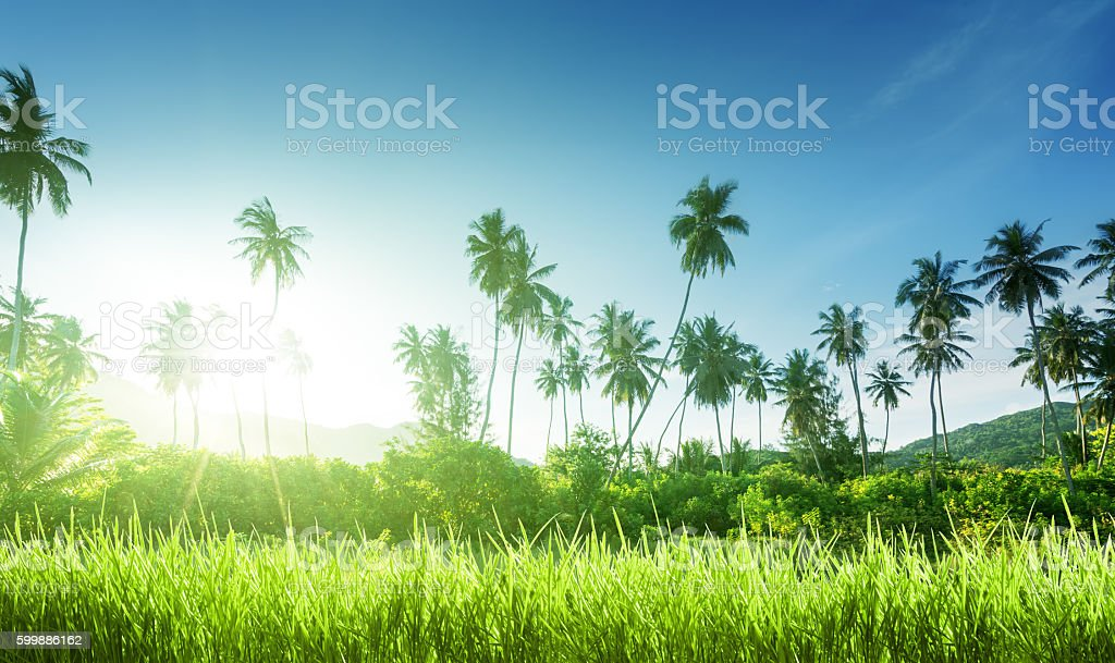 sunset in jungle and grass stock photo