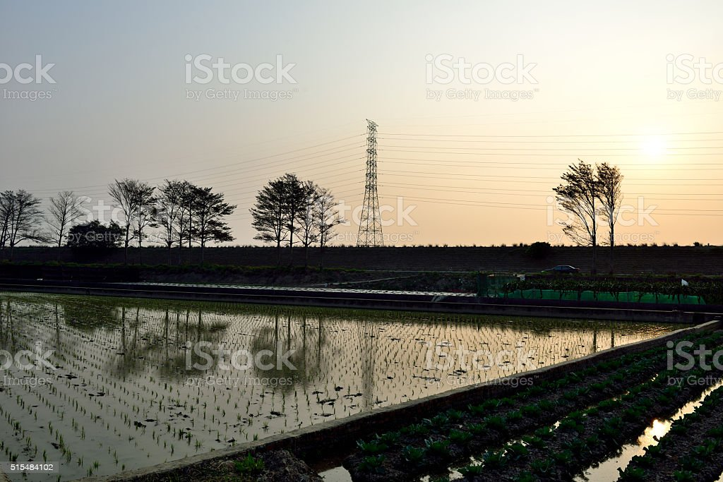 Sunset in paddy fields stock photo