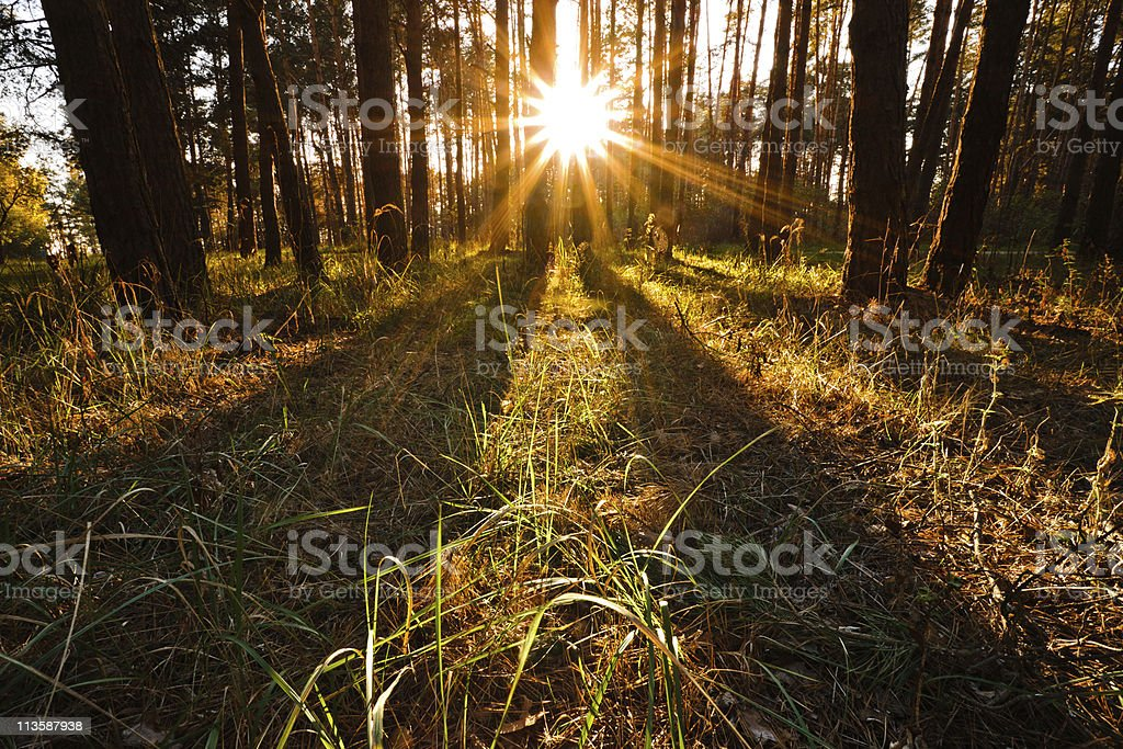 Sunset in Pine Forest stock photo
