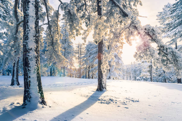 Sunset in Pine Forest under Snow in Winter stock photo