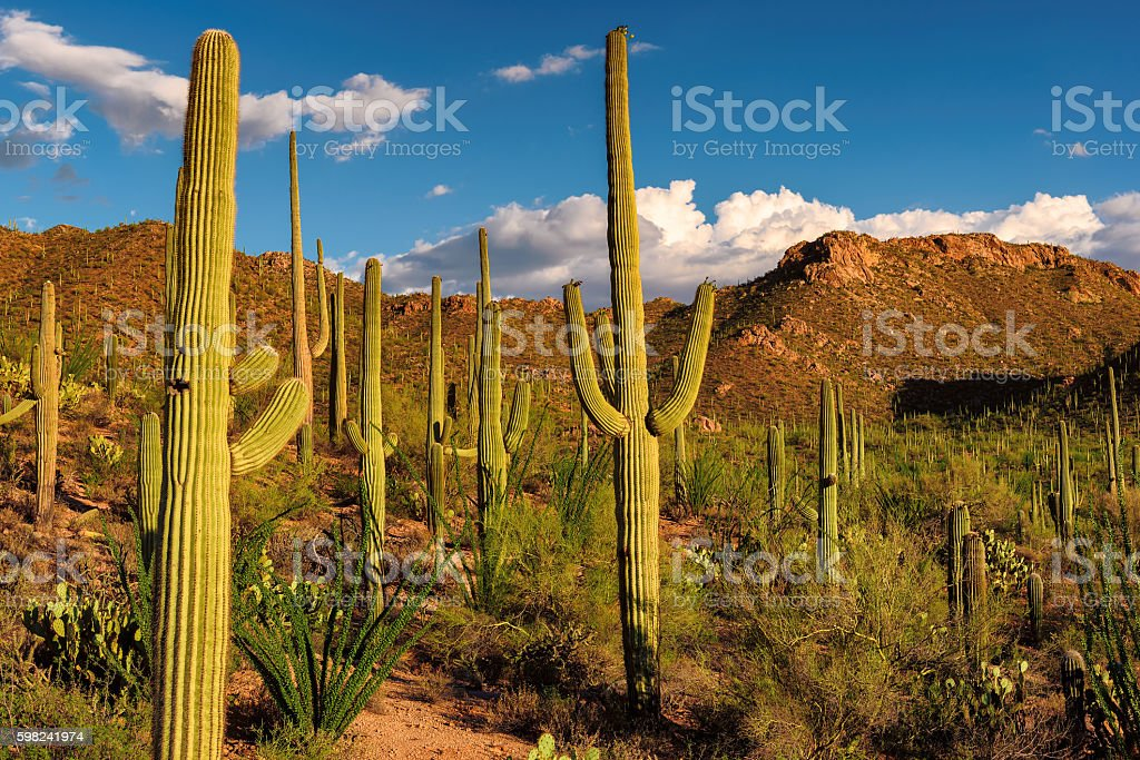 Sunset in Saguaro National Park, Arizona. stock photo