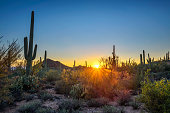 Sunset over cactuses in Saguaro National Park near Tucson, Arizona