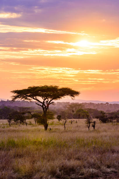 Sunset in savannah of Africa with acacia trees, Safari in Serengeti of Tanzania Sunset in savannah of Africa with acacia trees, Safari in Serengeti of Tanzania south africa stock pictures, royalty-free photos & images