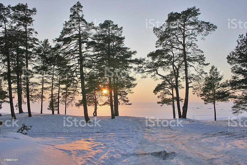 sunset in snow pine forest royalty-free stock photo