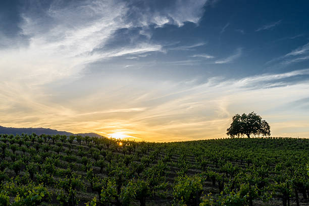Sunset in Sonoma California wine country Sun setting behind green grapevines in Sonoma Valley. Tree silhouette on the rolling hills. Blue and orange sky with wispy white clouds. sonoma stock pictures, royalty-free photos & images