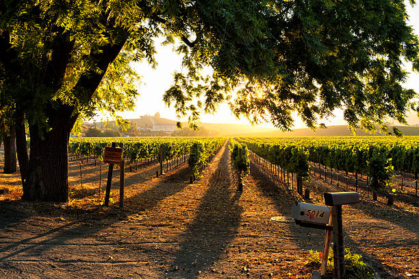 Sunset in Sonoma wine country Sunset in Sonoma wine country at harvest time sonoma stock pictures, royalty-free photos & images