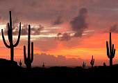 Sunset in the Desert with Saguaro Cacti in Silhouette