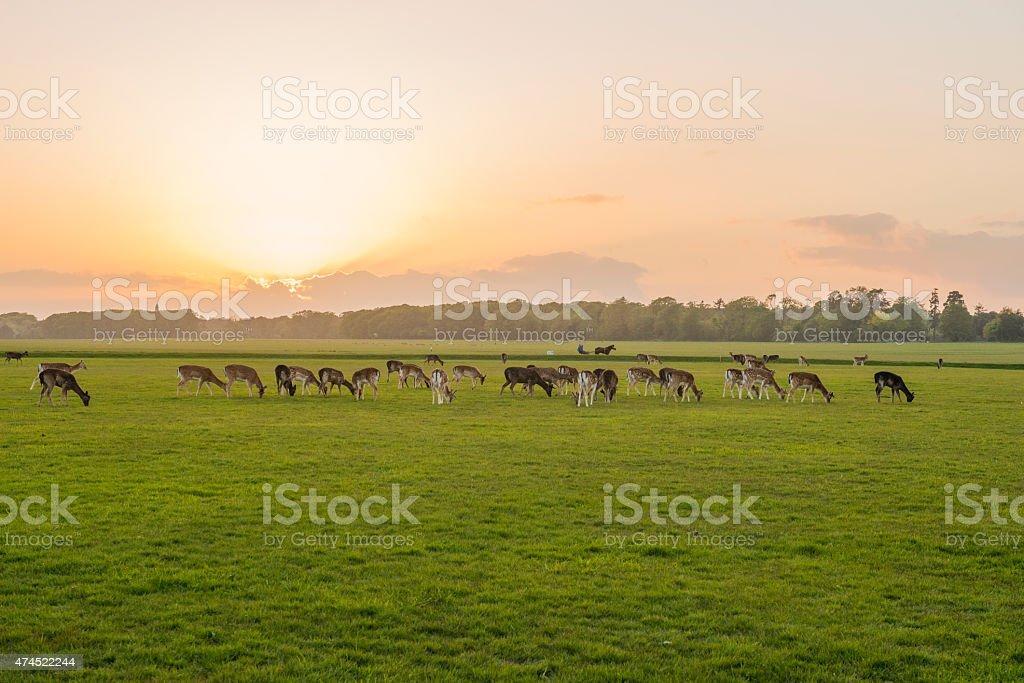 sunset in the Phoenix Park, Dublin, Ireland. stock photo