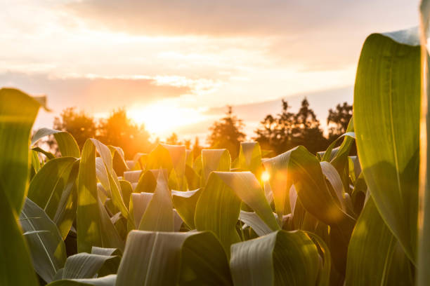 sunset in the summer on a maize field with sun flair - canna da zucchero foto e immagini stock
