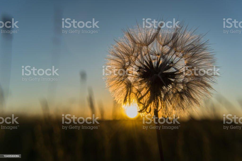Berühmt Sonnenuntergang In Der Sonne Und Von Hinten Beleuchtet Löwenzahn HA46