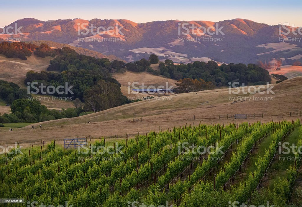 Sunset in the Vines stock photo