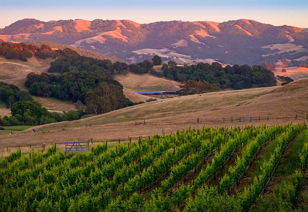 Sunset in the Vines The coastal hills near Petaluma, California glow in the setting sun in the background as a vineyard graces a hill in front of a dairy farm. sonoma stock pictures, royalty-free photos & images
