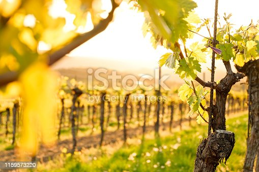 istock Sunset in the Vineyards - famous Danube Valley (Krems) - Lower Austria 1159573220