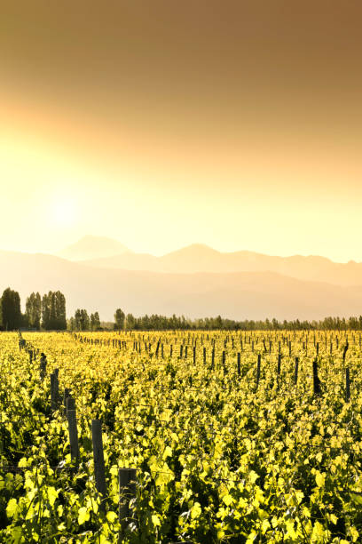 Sunset in vineyards at the foot of the Andes, Tupungato, Mendoza, Argentina. stock photo
