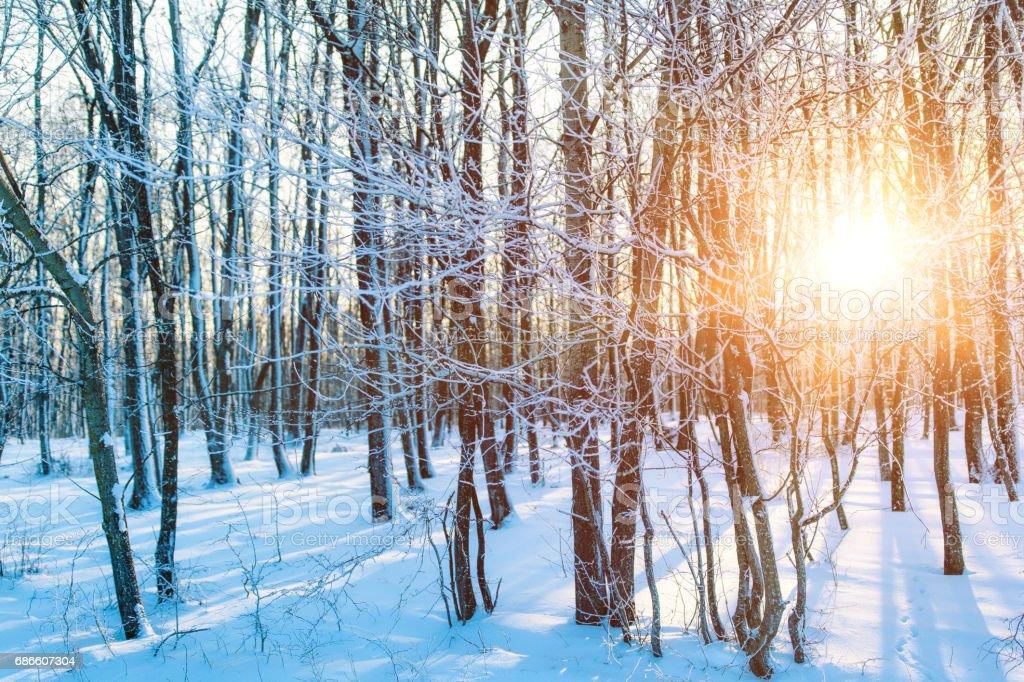 Sunset in winter forest photo libre de droits