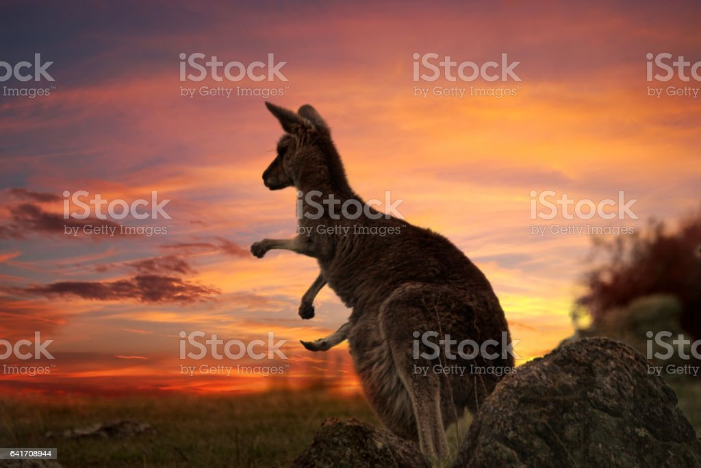 Sunset Kangaroo Australia stock photo