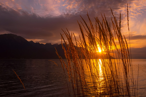 Sunset lake with reed flowers, sunset sun