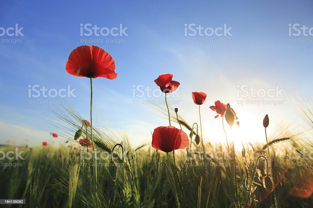 Sunset landscape - red poppies in the wheat field royalty-free stock photo