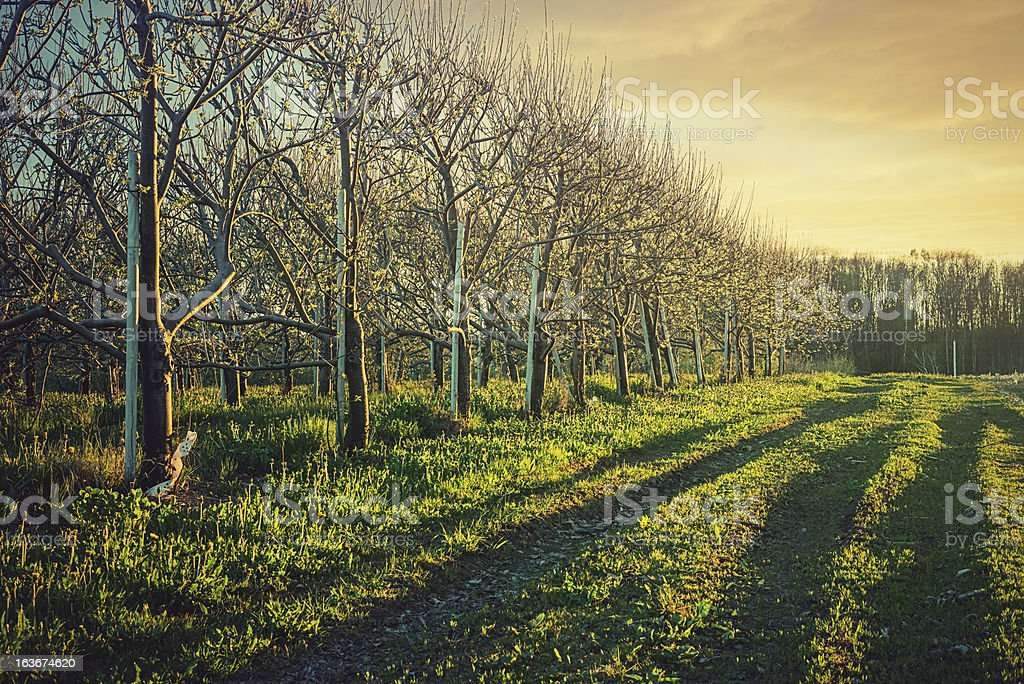 Sunset Light in Orchard royalty-free stock photo