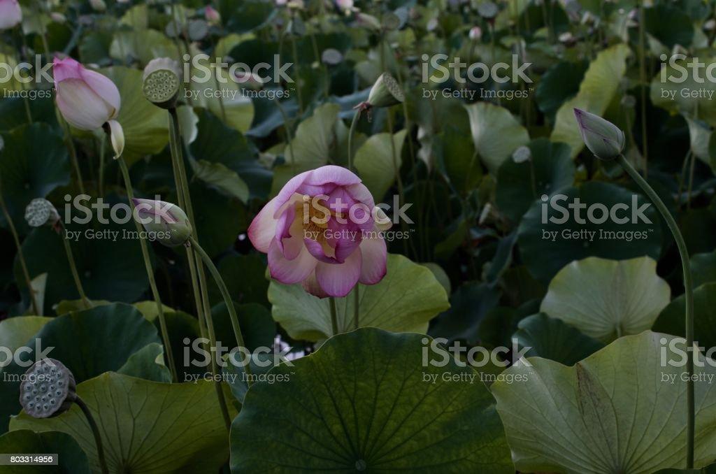 Sunset Lotus Bloom At Echo Park Lake Los Angeles Stock Photo More