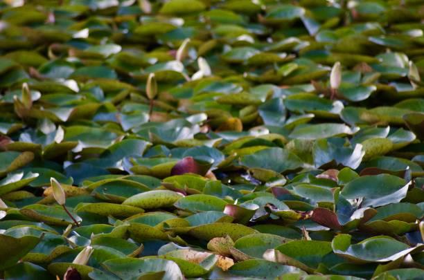 Sunset Lotus Bloom  at Echo Park Lake, Los Angeles stock photo